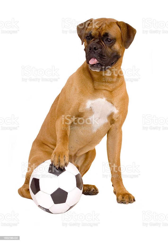 Dog and his ball royalty-free stock photo