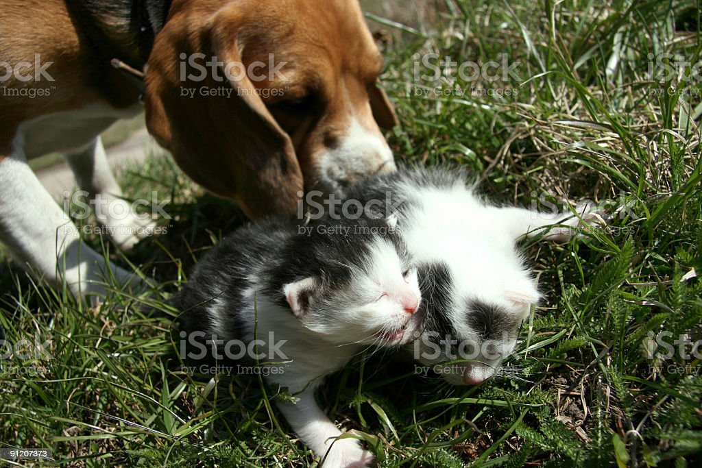 Dog and kittens royalty-free stock photo