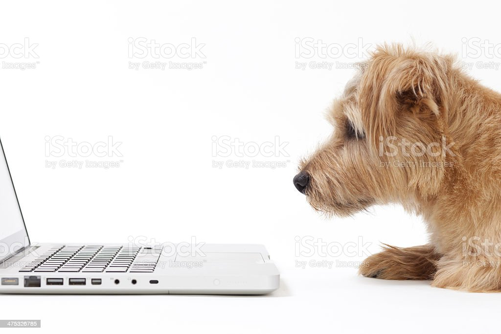 dog and laptop stock photo