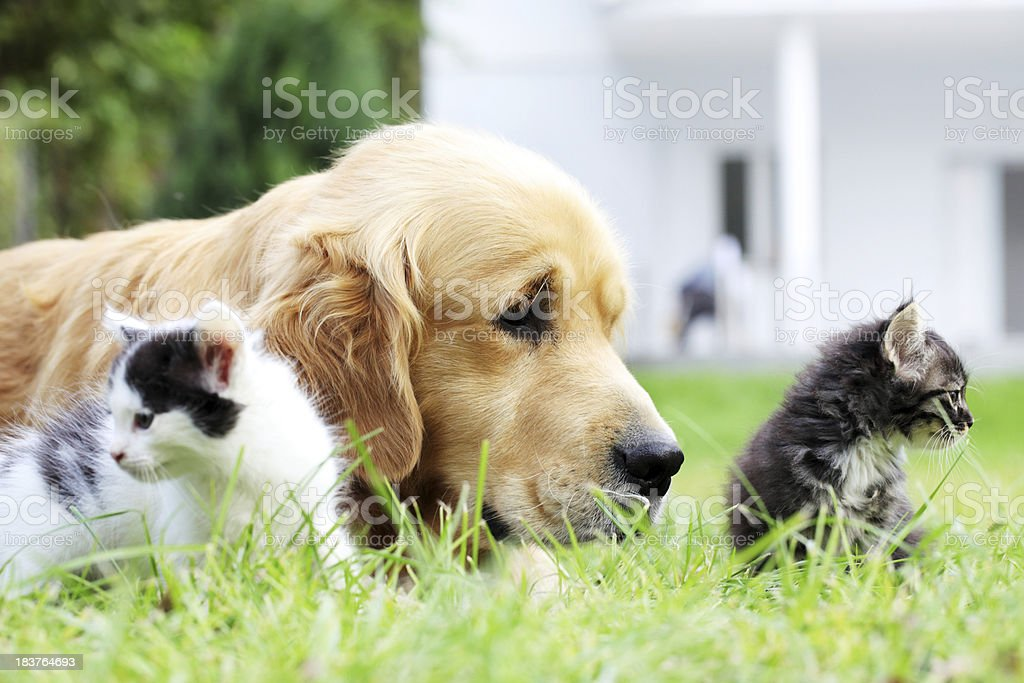 Dog and little cats together. royalty-free stock photo