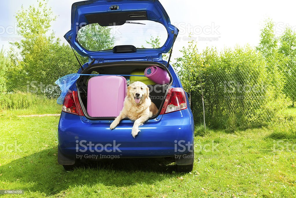 Dog and luggage in the car trunk stock photo