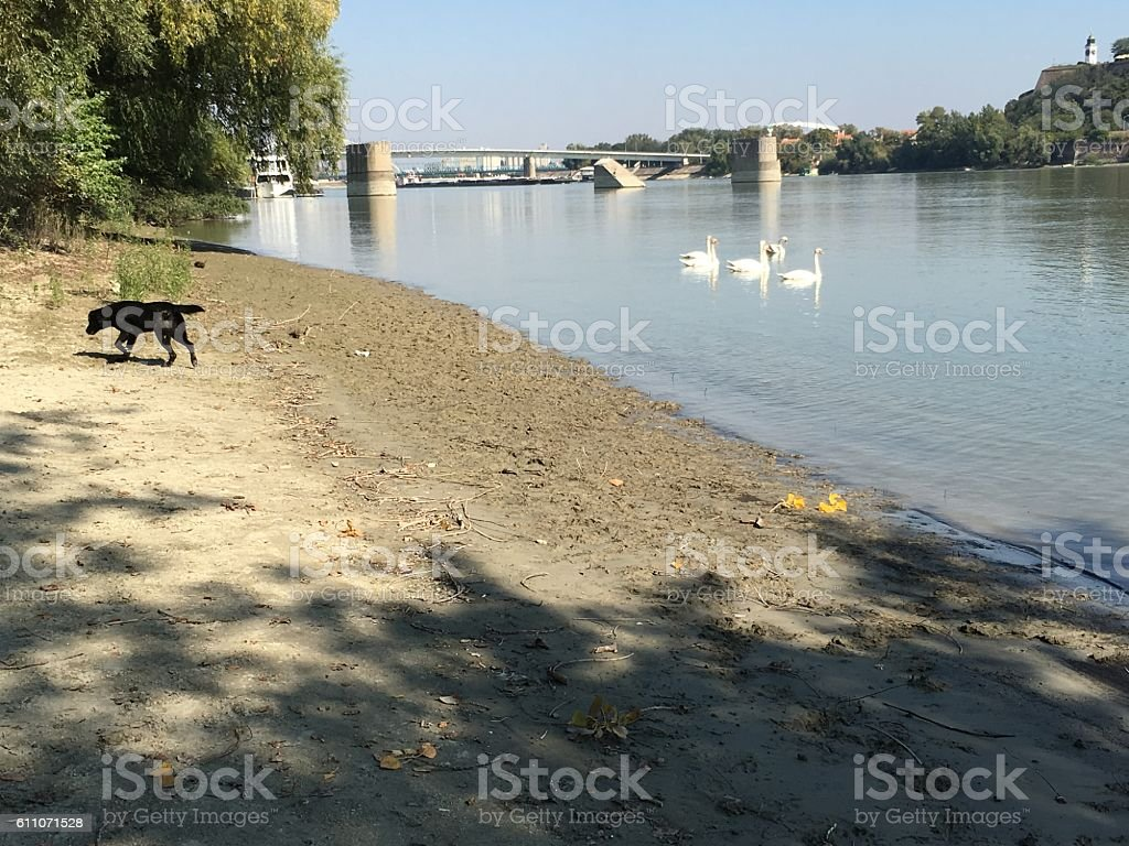 Dog and swans stock photo