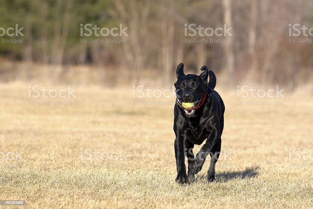 Dog and Tennis Ball royalty-free stock photo