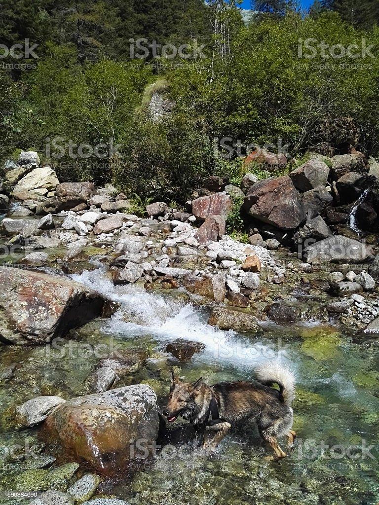 Dog and wild mountain river stock photo