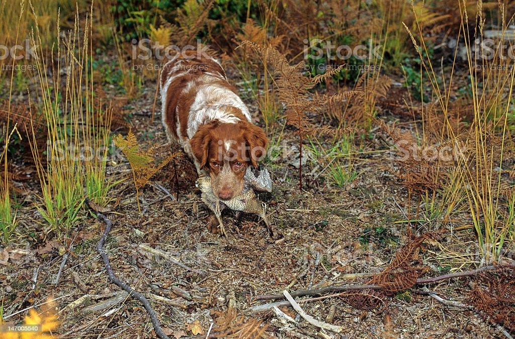 dog and woodcock royalty-free stock photo