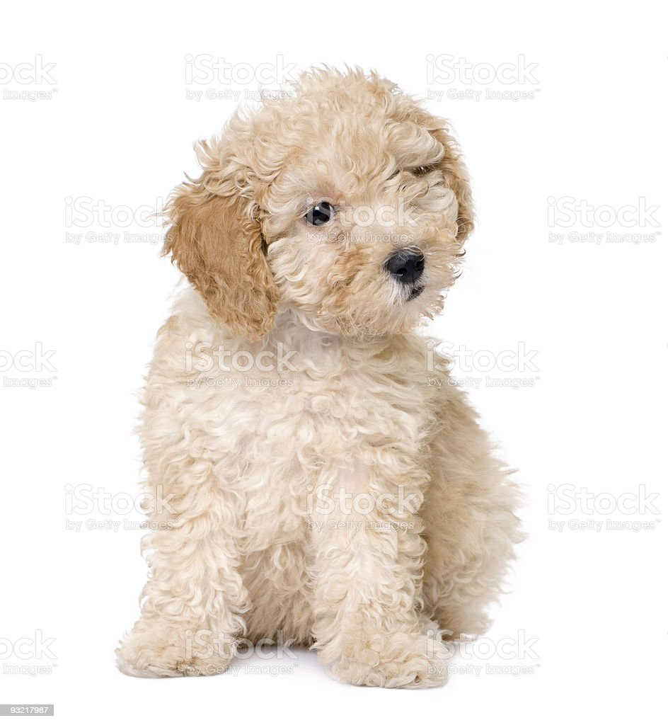 Dog : apricot toy Poodle puppy (10 weeks old) royalty-free stock photo