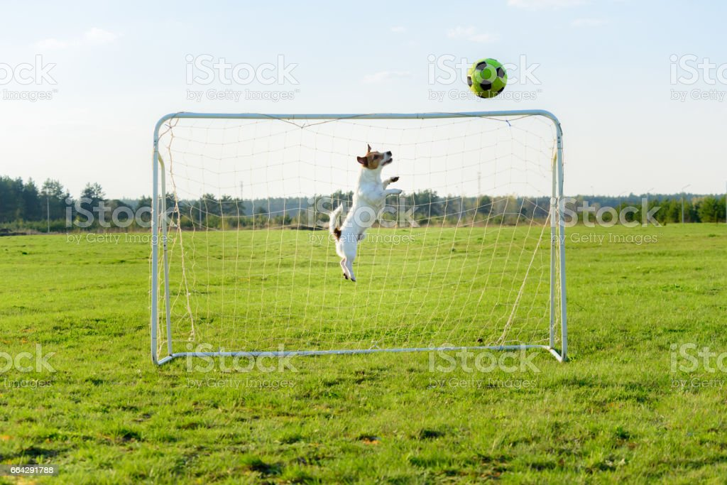 Dog as amusing goalkeeper saves goal at football (soccer) field stock photo