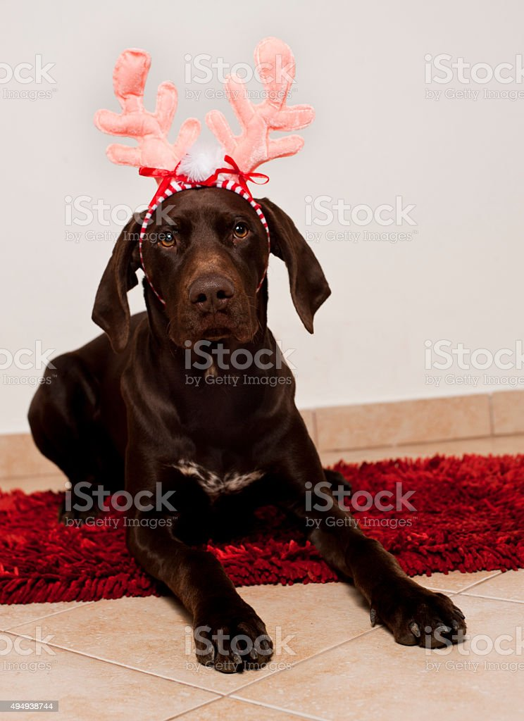 Dog as christmas reindeer stock photo