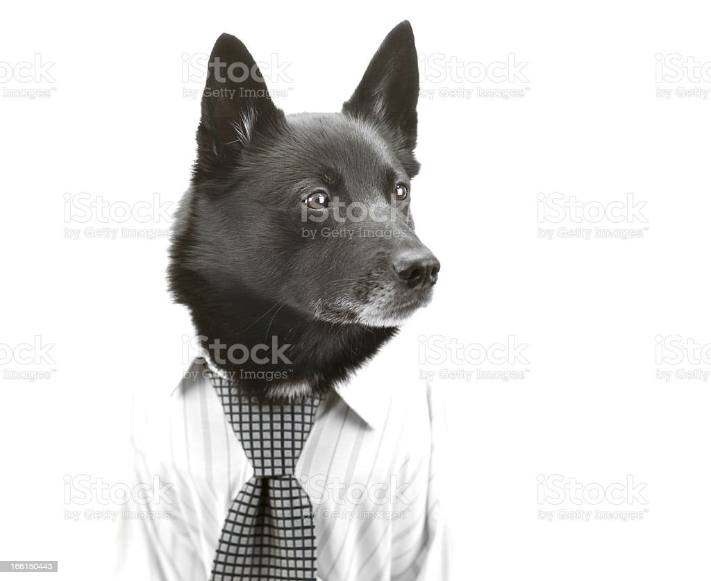Dog as focused businessman royalty-free stock photo