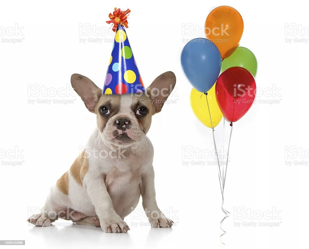 Dog at a Birthday Party With Hat and Balloons royalty-free stock photo