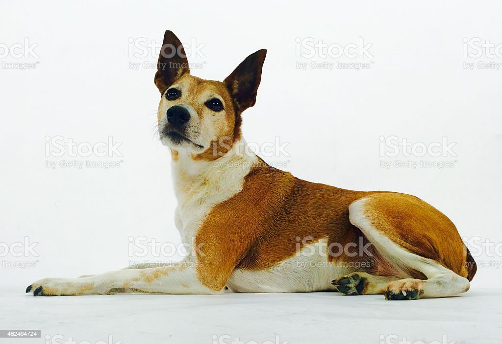 Dog at attention laying down stock photo