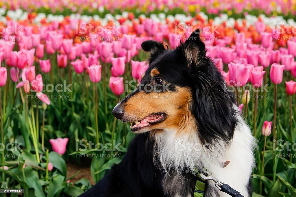 Dog at blooming tulip fild stock photo