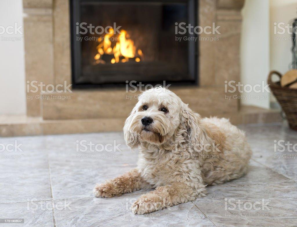 Dog at home royalty-free stock photo