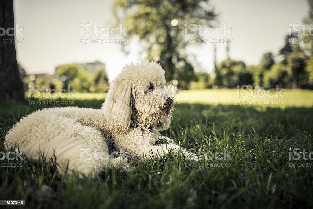 Dog at Park royalty-free stock photo