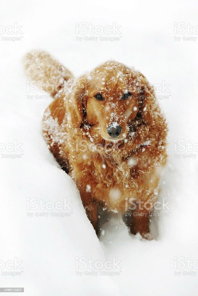 Dog at snow royalty-free stock photo