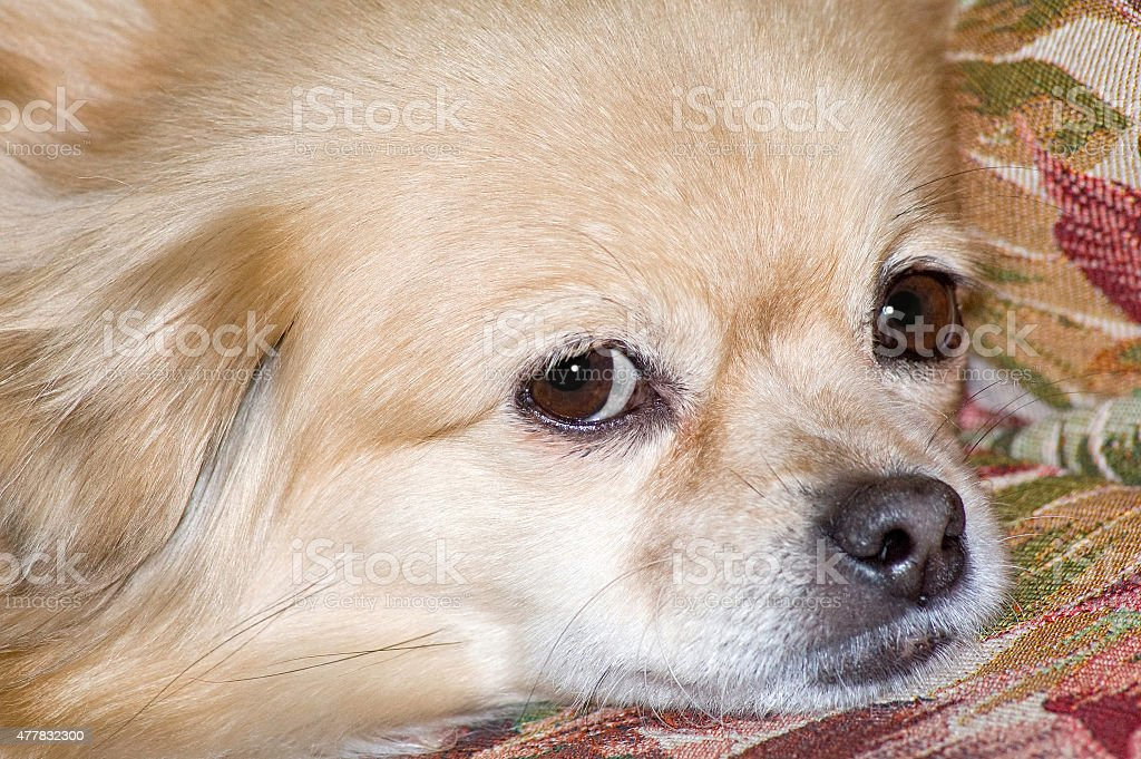Dog at sofa stock photo