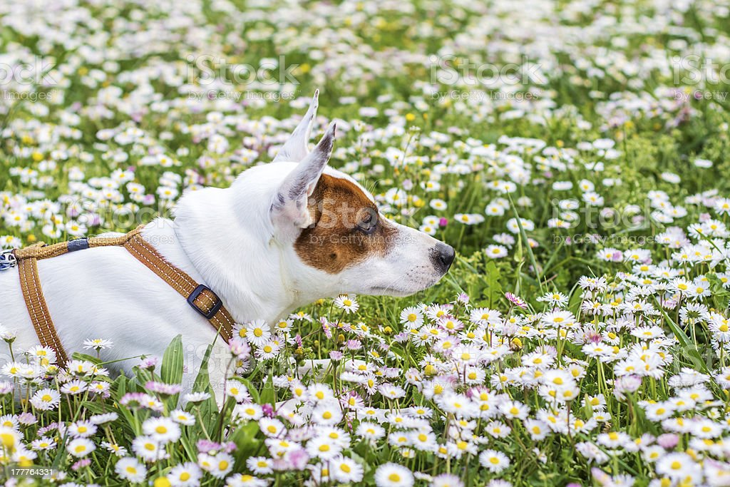Dog at spring royalty-free stock photo