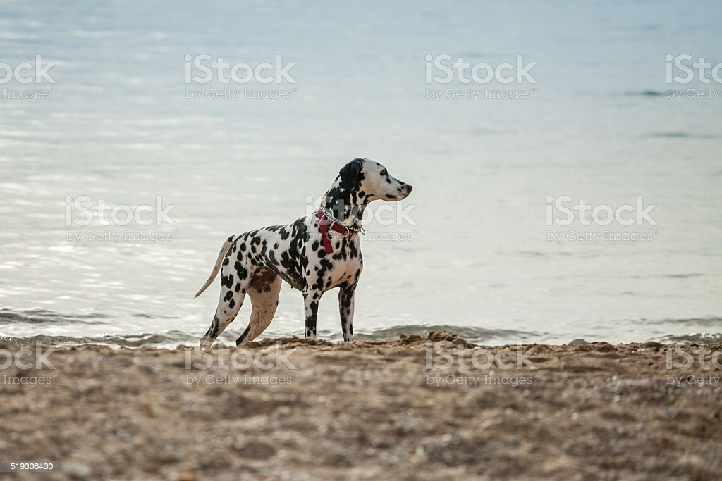 Dog at the beach stock photo