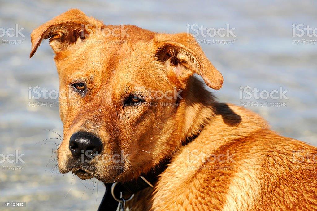 Dog at the Lake royalty-free stock photo