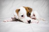 dog baby Jack russel terrier