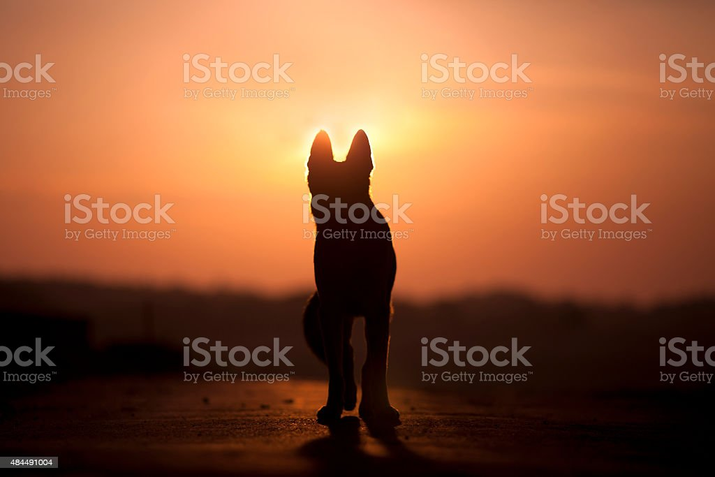 Dog backlight silhouette in sunset stock photo