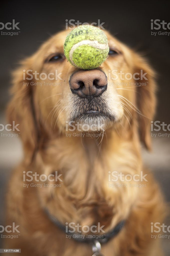 A dog balancing a tennis ball on its snout stock photo