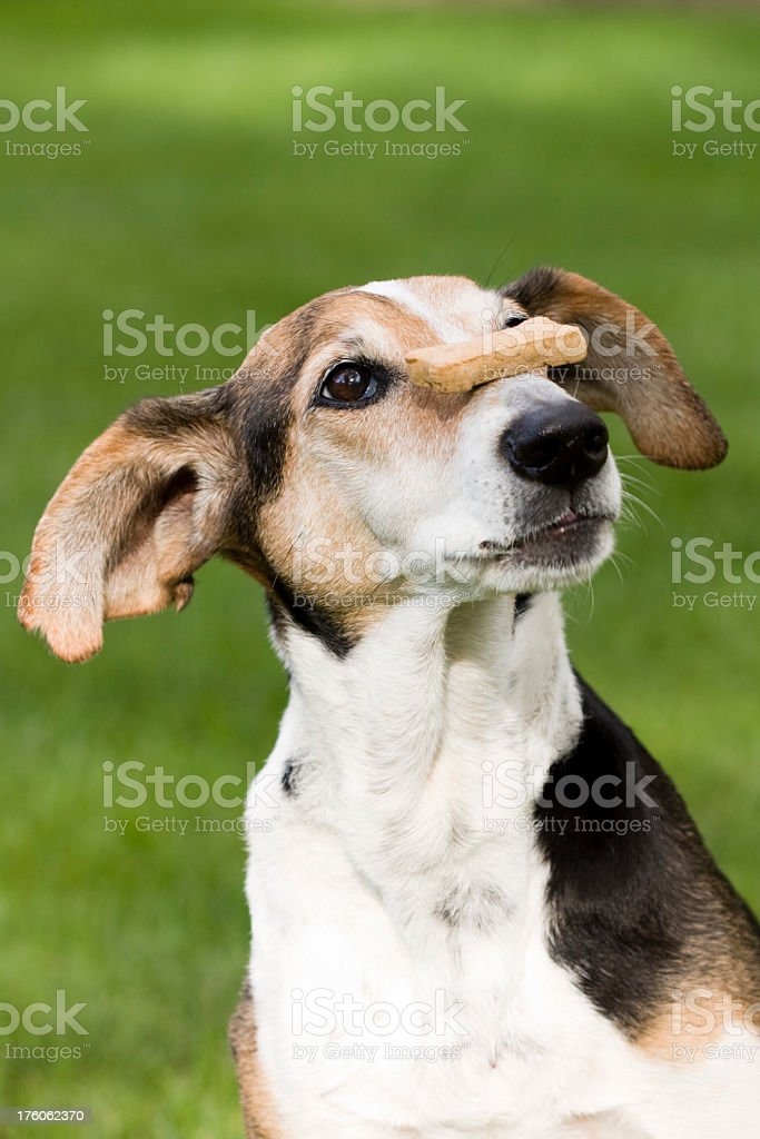 A dog balancing pets food cookie on its nose royalty-free stock photo