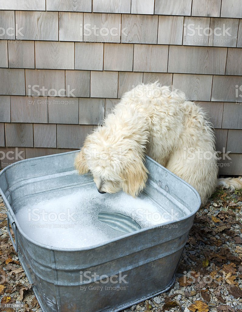 Dog Bath Time. stock photo