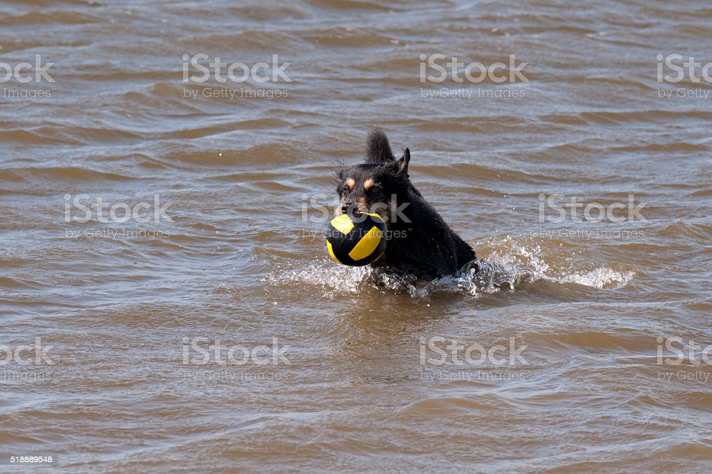 Dog bathing in the North Sea stock photo