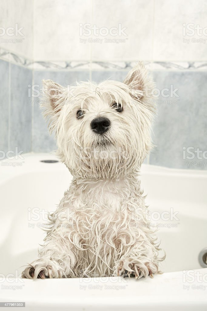 Dog bathing royalty-free stock photo