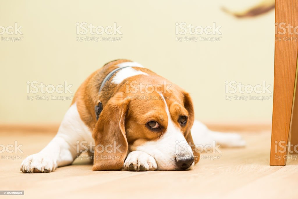 Dog beagle at the age of 2 years, the female is lying on the floor with her head on her paw and looks forward stock photo