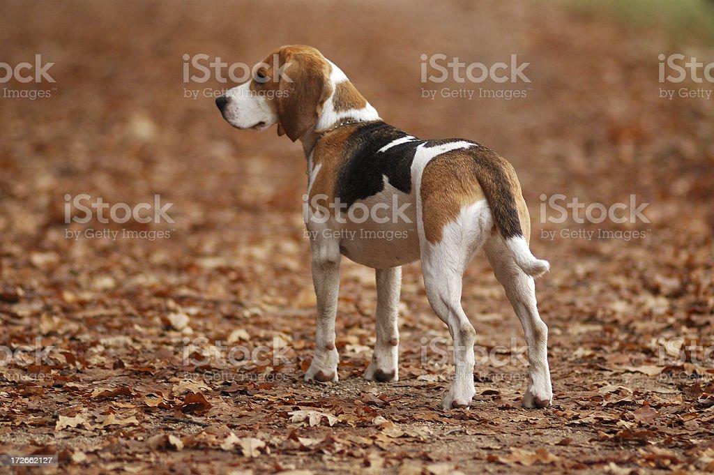 Dog Beagle in Nature stock photo