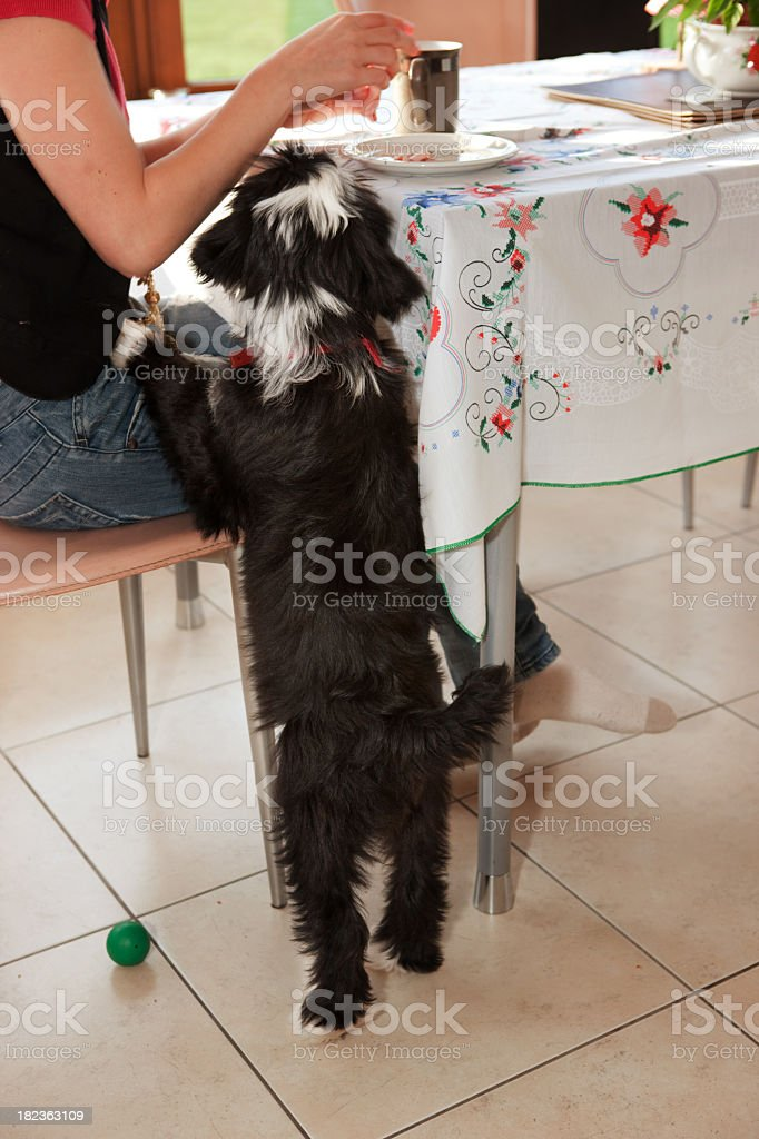 Dog begging at the table stock photo