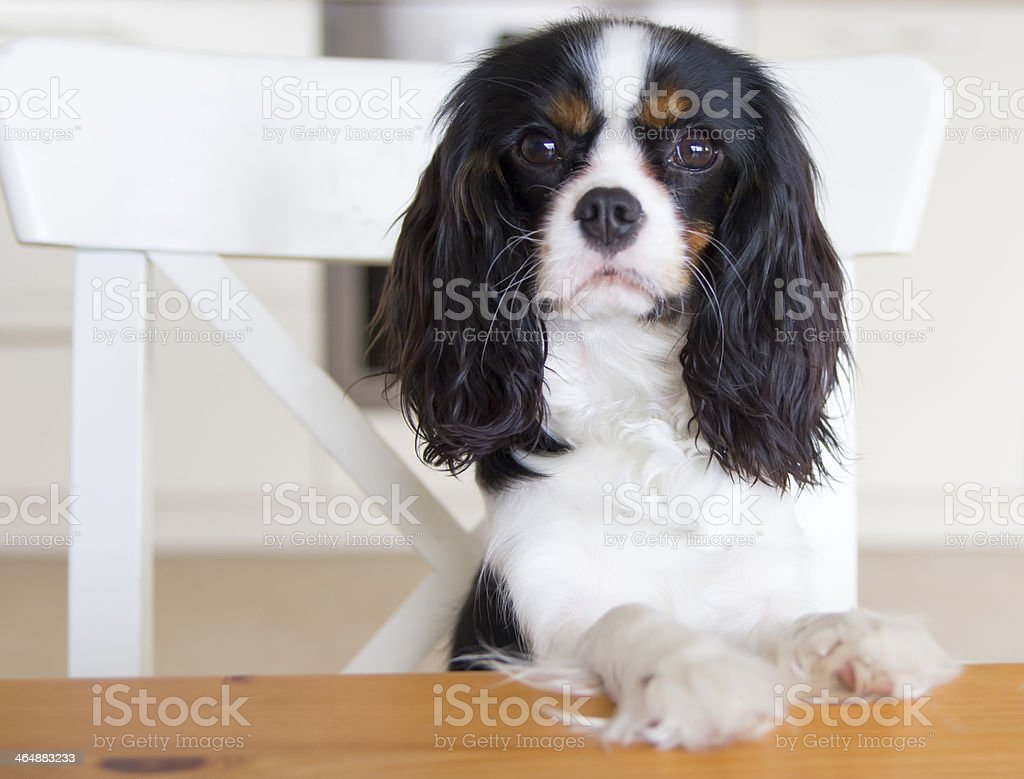 dog begging for food stock photo