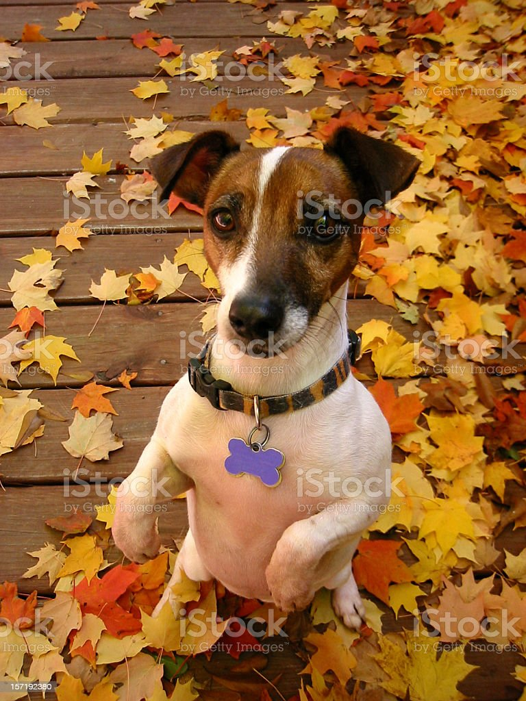 Dog Begging royalty-free stock photo