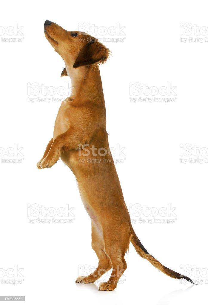 dog begging royalty-free stock photo