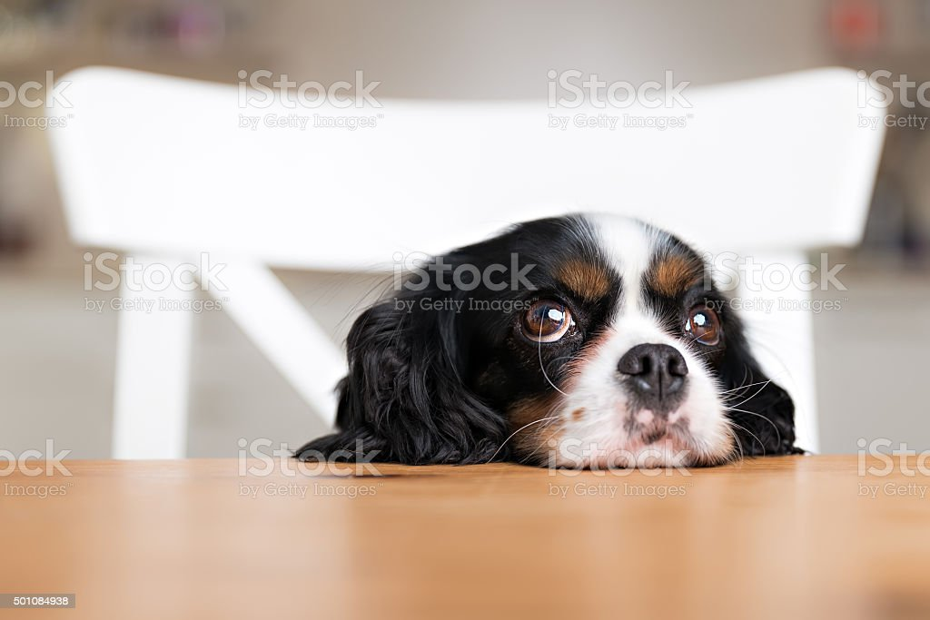 dog begging stock photo