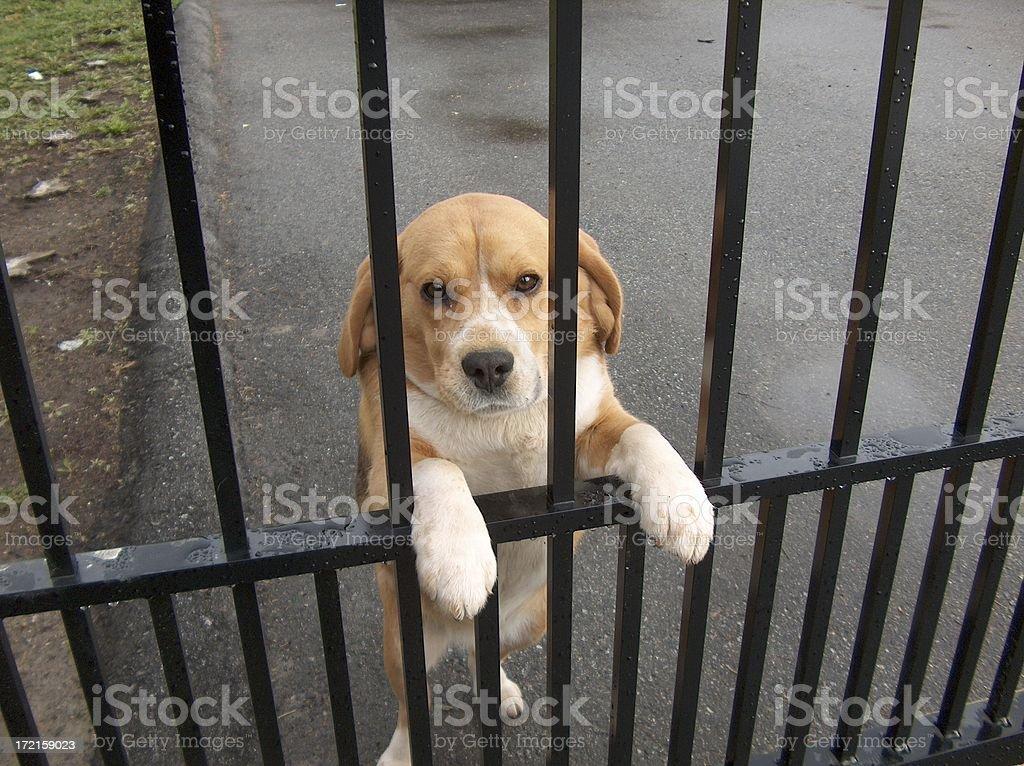 Dog Behind Bars royalty-free stock photo