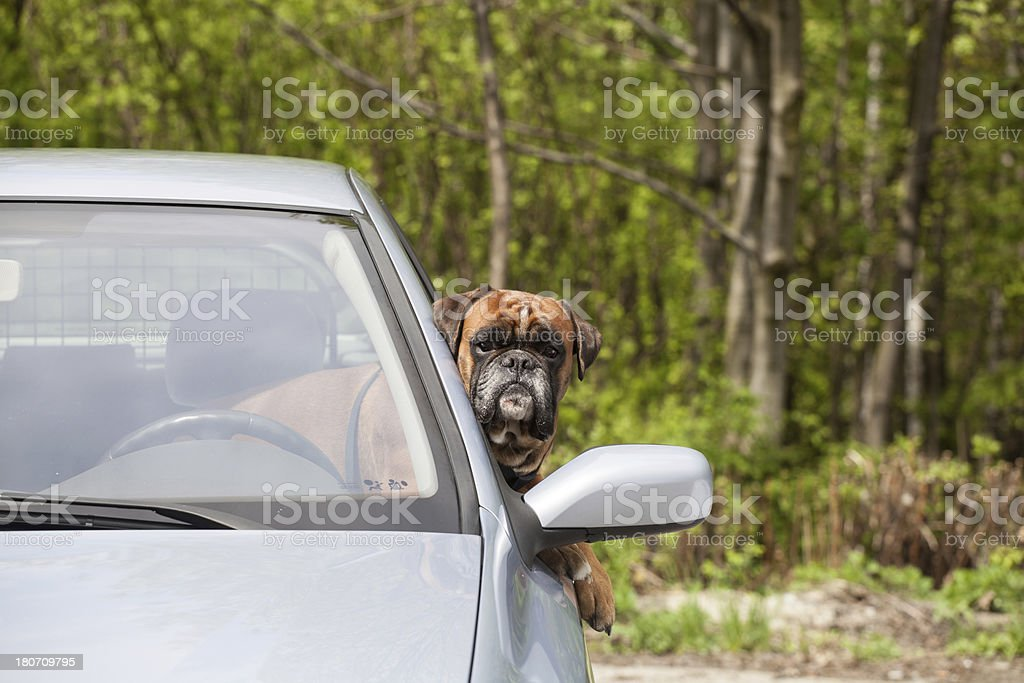 Dog behind the wheel of car royalty-free stock photo