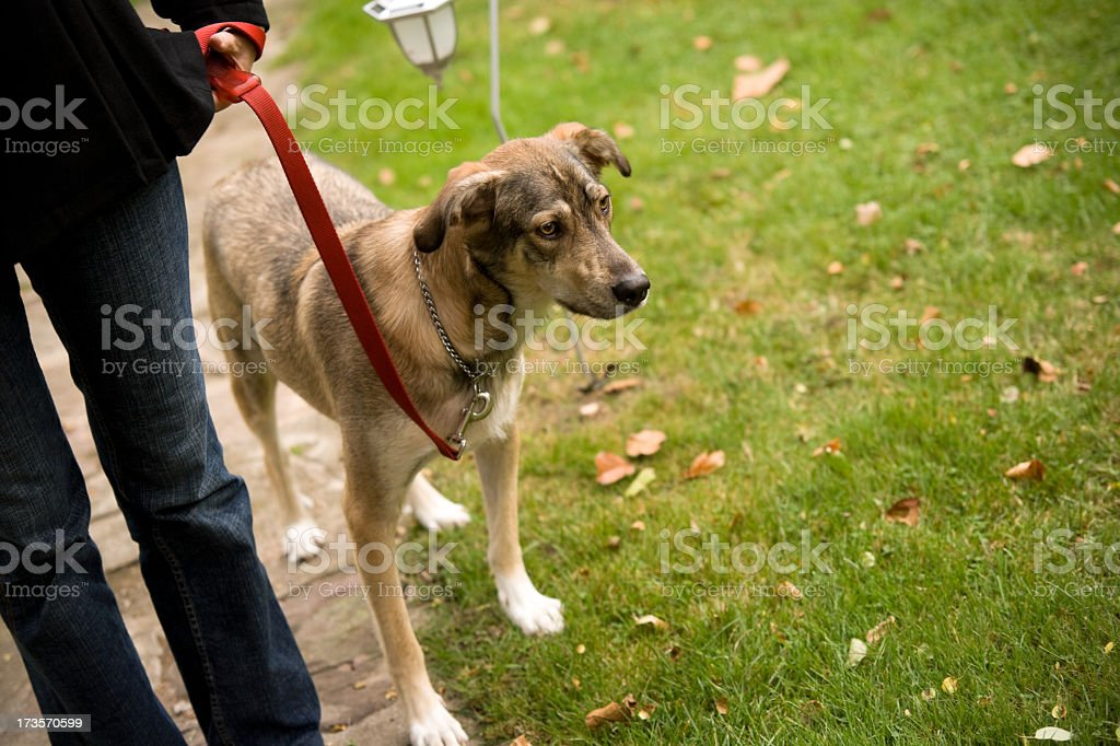 A dog being walked on a red leash royalty-free stock photo