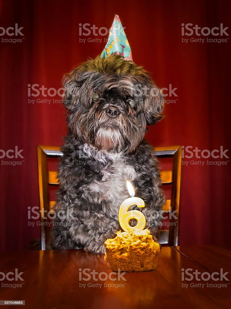 Shih tau with birthday hat and cake with candle