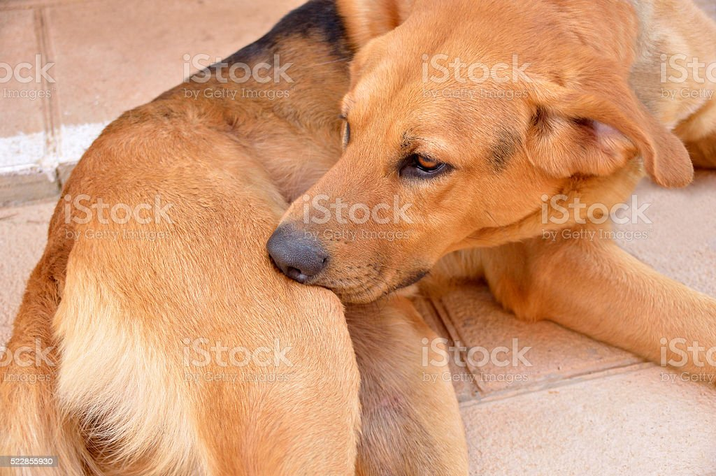 dog biting tick and fleas stock photo