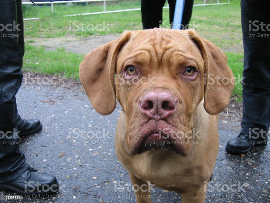 Dog & Boots royalty-free stock photo
