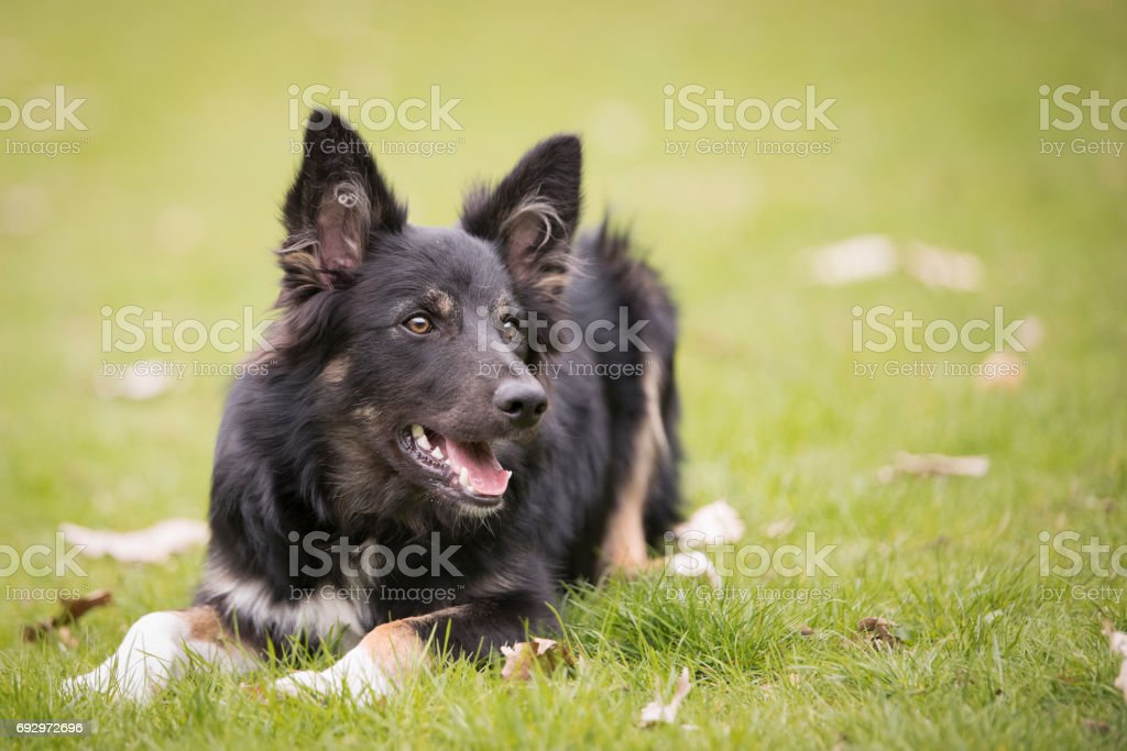 Dog, Border Collie, lying in green grass stock photo