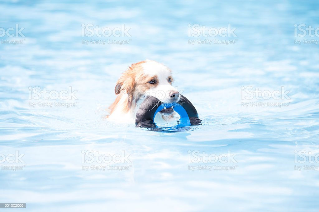 Dog, Border Collie, swimming and holding a toy stock photo