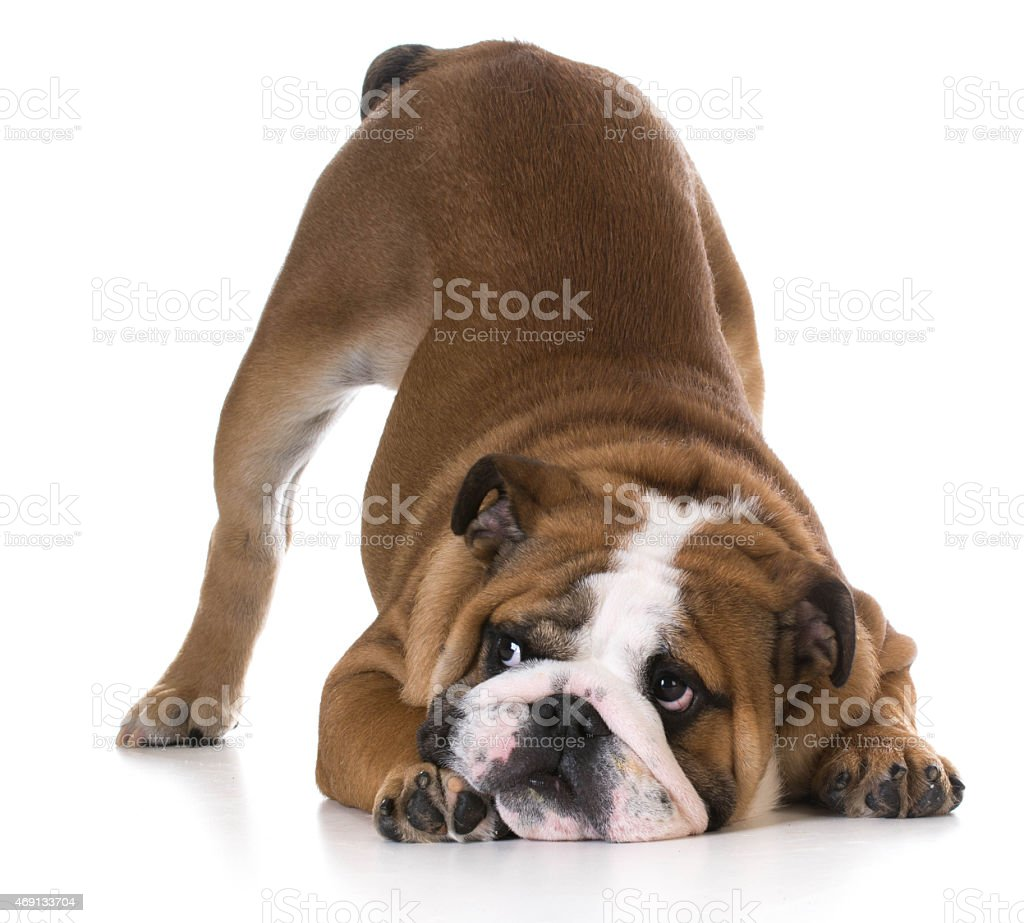 dog bowing stock photo