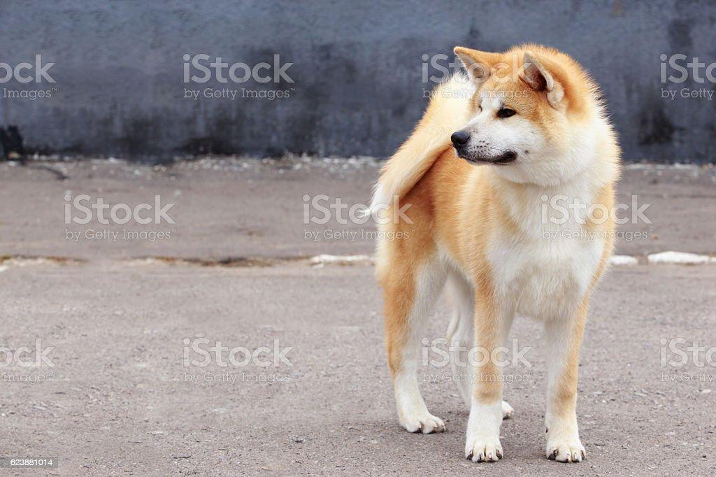 dog breed Akita Inu stock photo