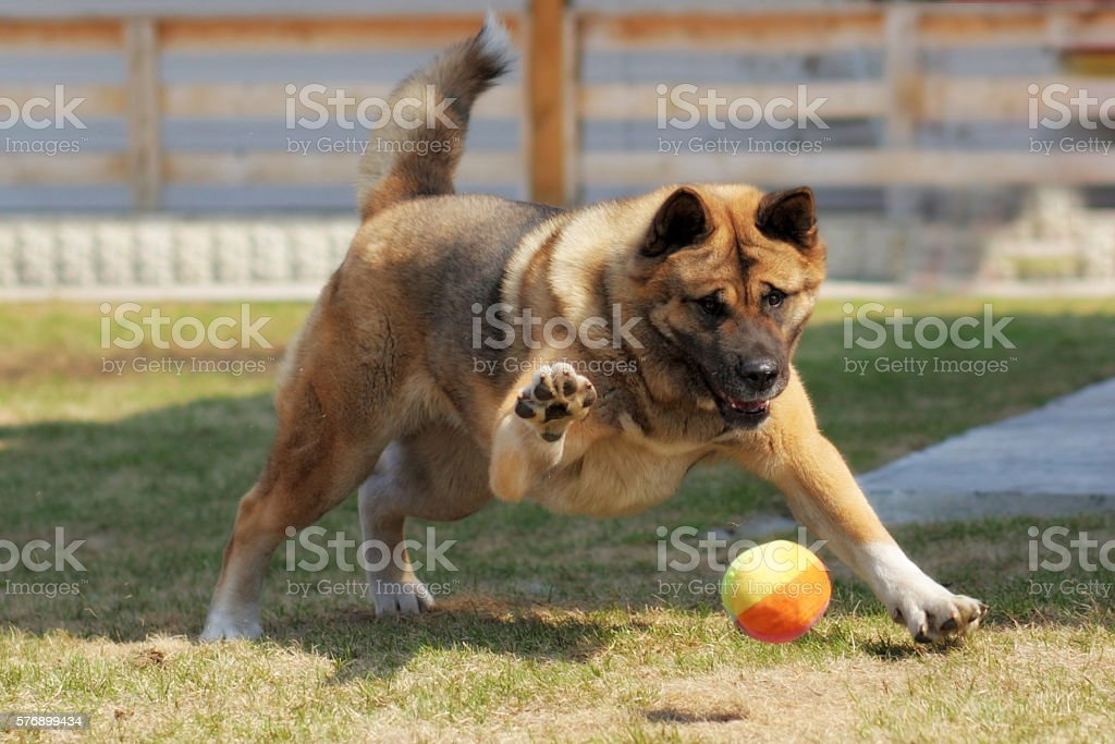 dog breed Akita inu plays outdoors with a ball stock photo