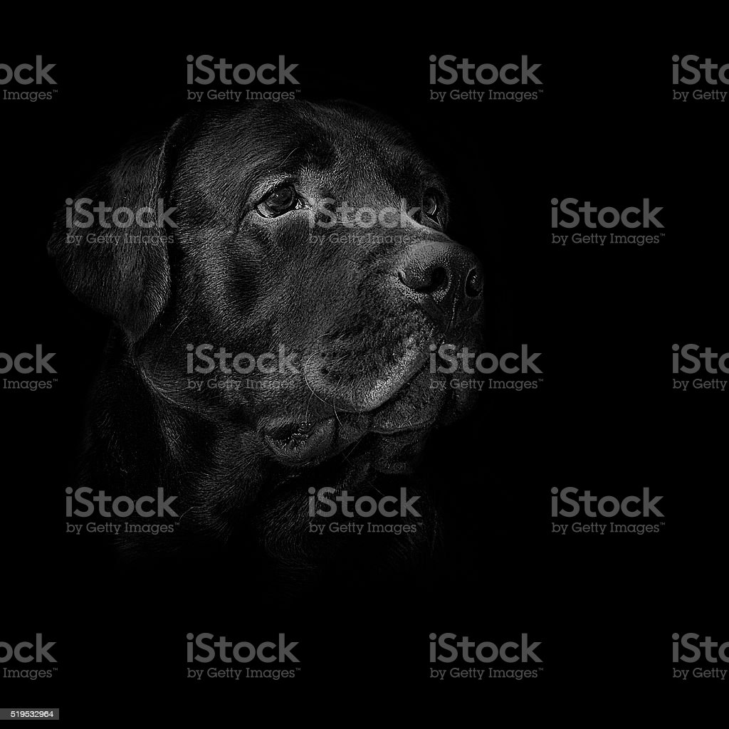 dog breed black labrador stock photo