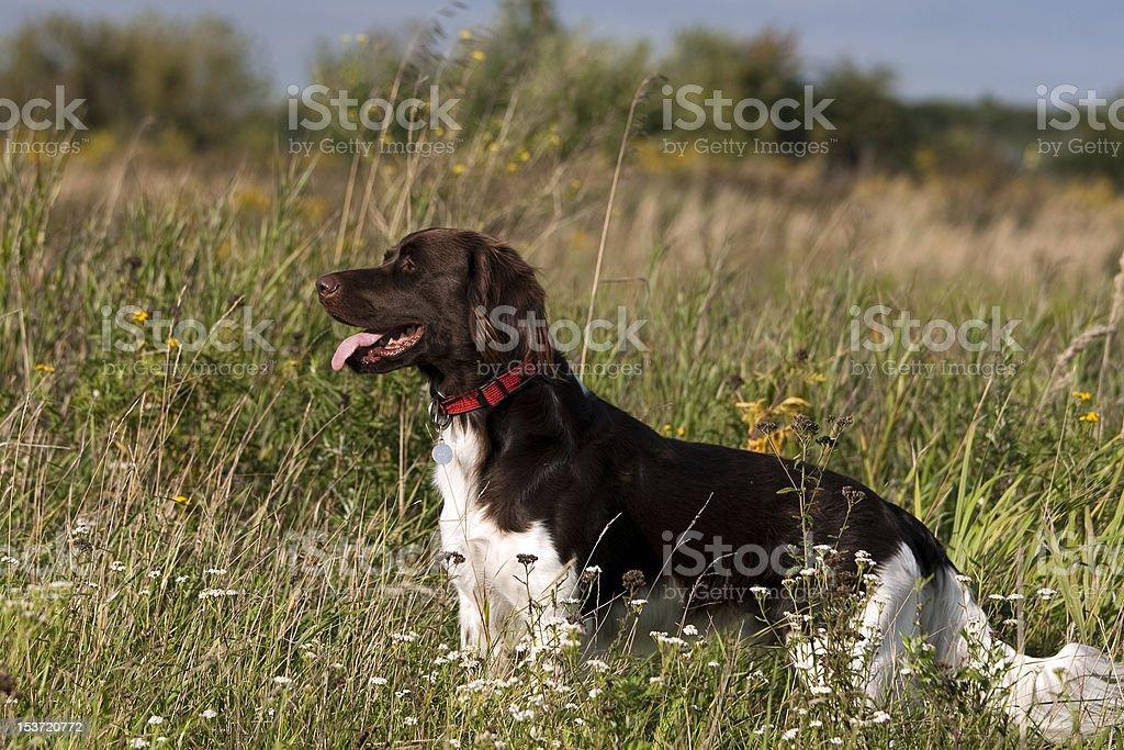 Dog breed Kleiner Münsterländer stock photo